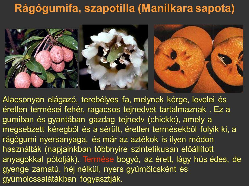 Nagy szapota, kanisztel (Pouteria sapota) Mexikói eredetű, termesztik Közép-Amerikában és a Karib- térségben. Termése: egymagvú bogyó. Gyümölcse nagy,