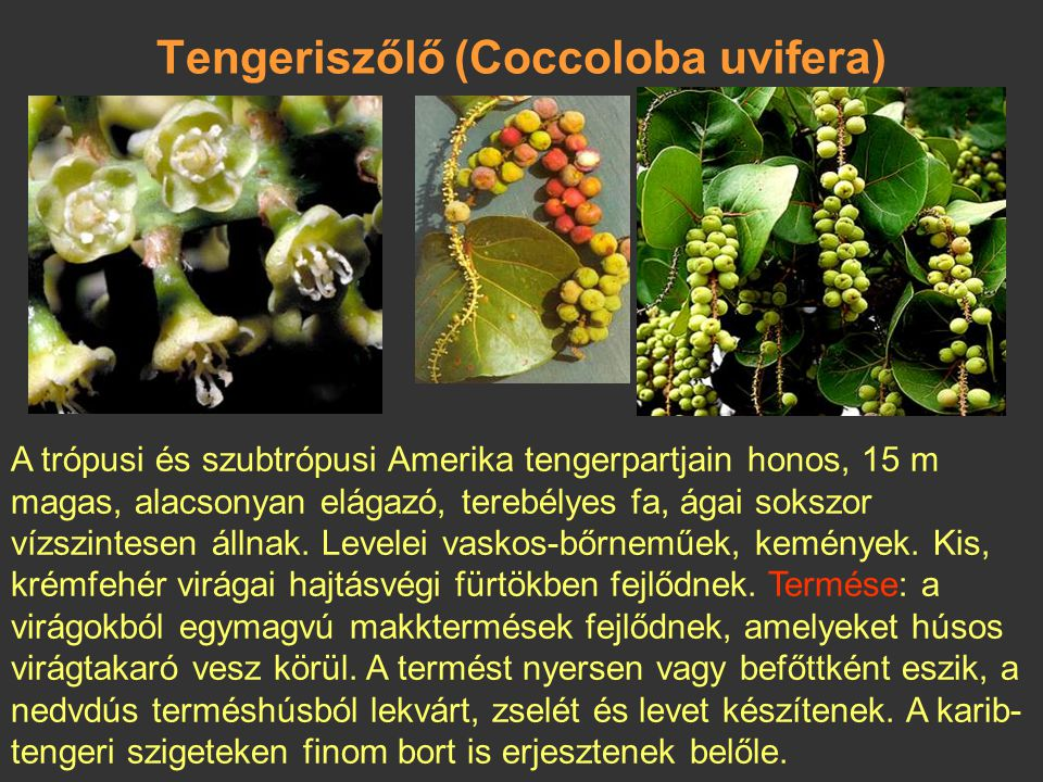 Ikákószilva (Chrysobalanus icaco) Termesztik Brazíliában, Kubában és Afrikában is. Bokor vagy kis fa. Termése szilvaszerű, gömb alakú, 4 cm-es, rózsas