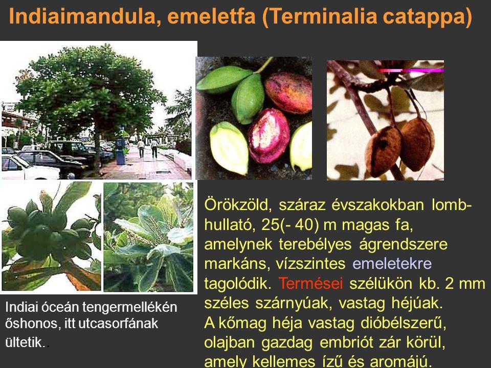 Tengeriszőlő (Coccoloba uvifera) A trópusi és szubtrópusi Amerika tengerpartjain honos, 15 m magas, alacsonyan elágazó, terebélyes fa, ágai sokszor ví