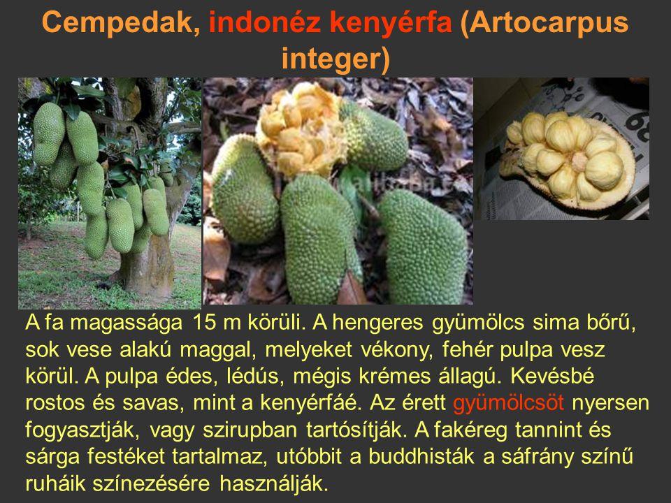 Dzsekfrút, jackfruit (Artocarpus heterophyllus) India és Délkelet-Ázsia esőerdőiből származik, régi kultúrnövény. A fa 30 m magasságig nőhet, óriási g