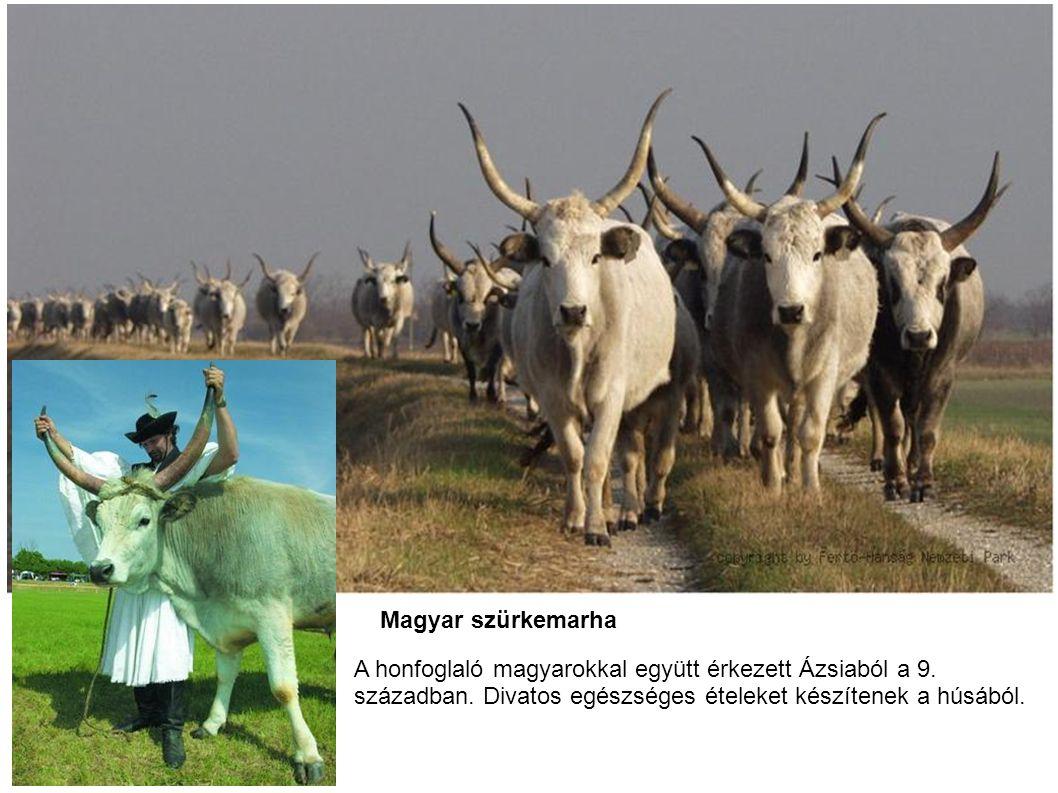 Magyar szürkemarha A honfoglaló magyarokkal együtt érkezett Ázsiaból a 9. században. Divatos egészséges ételeket készítenek a húsából.