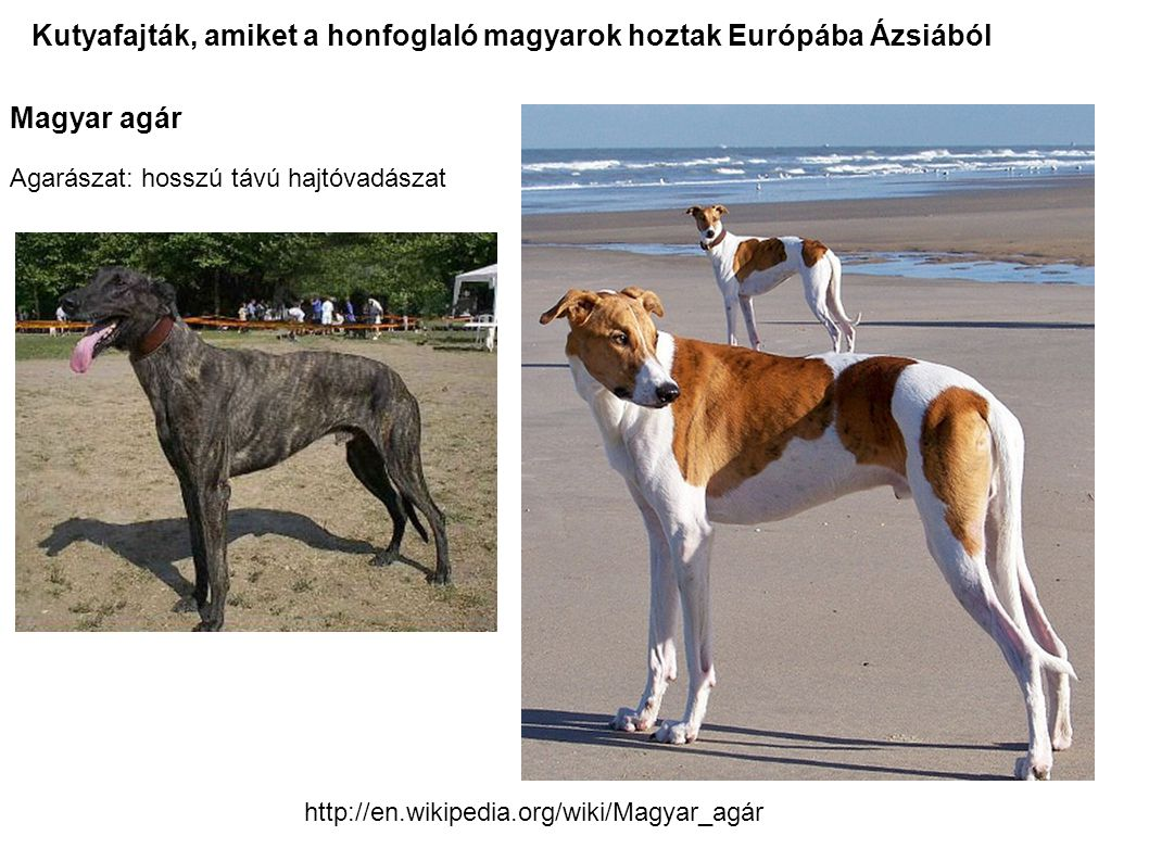 Magyar agár Agarászat: hosszú távú hajtóvadászat Kutyafajták, amiket a honfoglaló magyarok hoztak Európába Ázsiából http://en.wikipedia.org/wiki/Magya