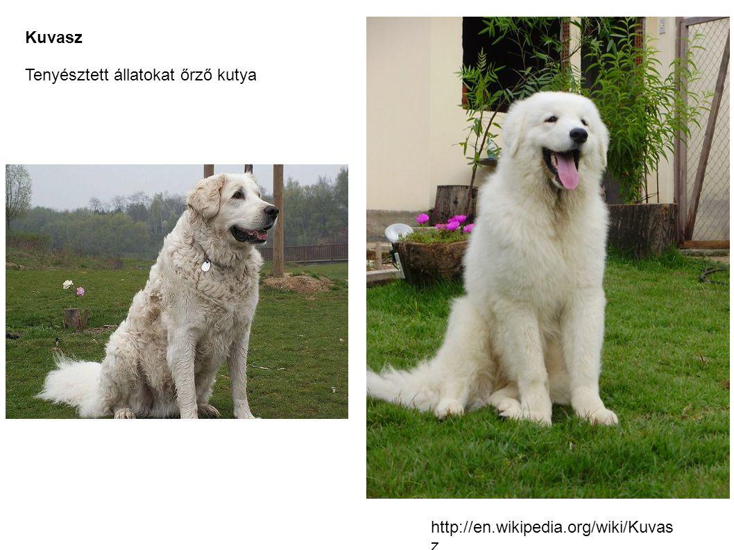 Kuvasz Tenyésztett állatokat őrző kutya http://en.wikipedia.org/wiki/Kuvas z
