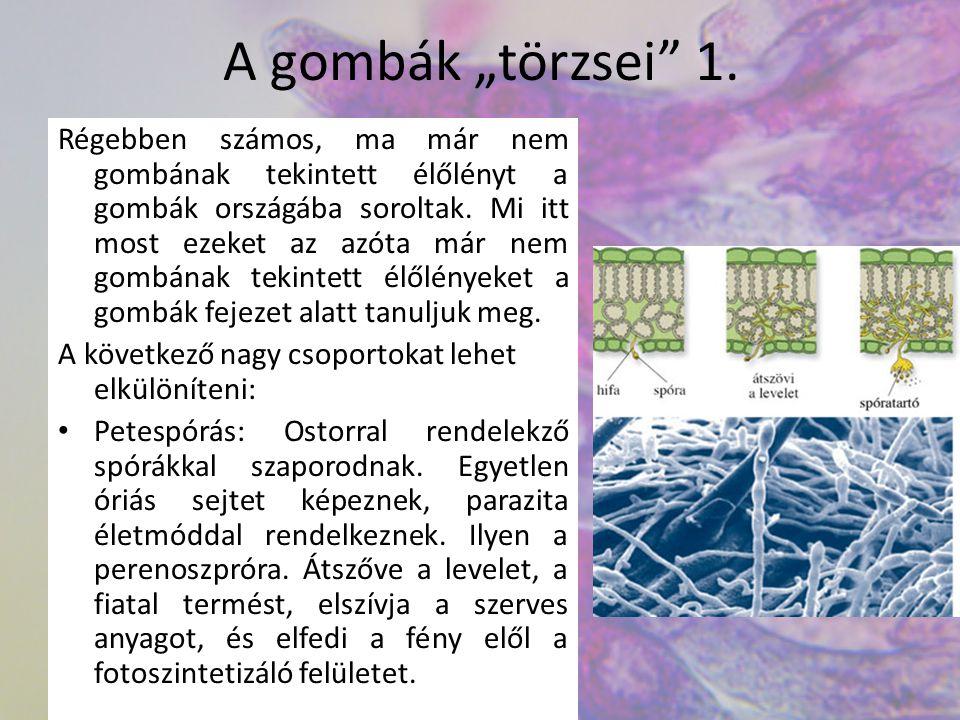 """A gombák """"törzsei 2."""