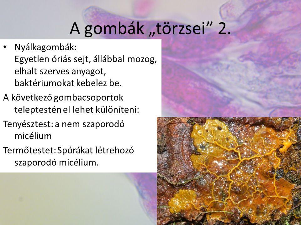 """A gombák """"törzsei"""" 2. Nyálkagombák: Egyetlen óriás sejt, állábbal mozog, elhalt szerves anyagot, baktériumokat kebelez be. A következő gombacsoportok"""