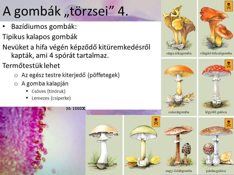"""A gombák """"törzsei"""" 4. Bazídiumos gombák: Tipikus kalapos gombák Nevüket a hifa végén képződő kitüremkedésről kapták, ami 4 spórát tartalmaz. Termőtest"""