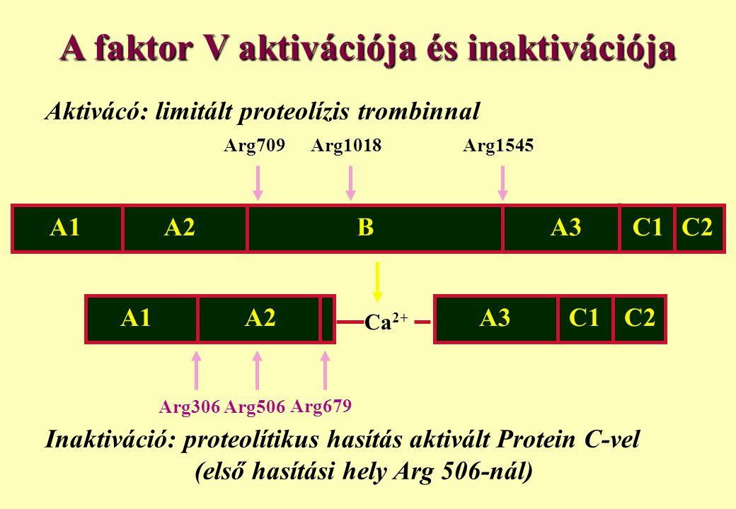 Arg506 Aktivácó: limitált proteolízis trombinnal A1A2BA3C2C1 Arg709Arg1018Arg1545 Ca 2+ Inaktiváció: proteolítikus hasítás aktivált Protein C-vel (els