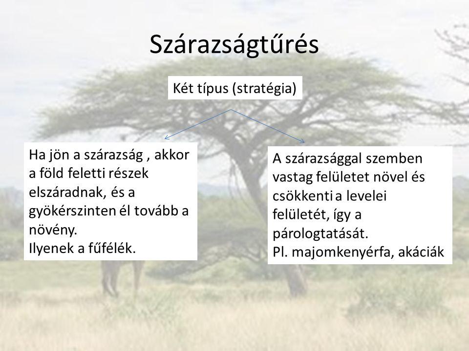 Szárazságtűrés Két típus (stratégia) Ha jön a szárazság, akkor a föld feletti részek elszáradnak, és a gyökérszinten él tovább a növény. Ilyenek a fűf