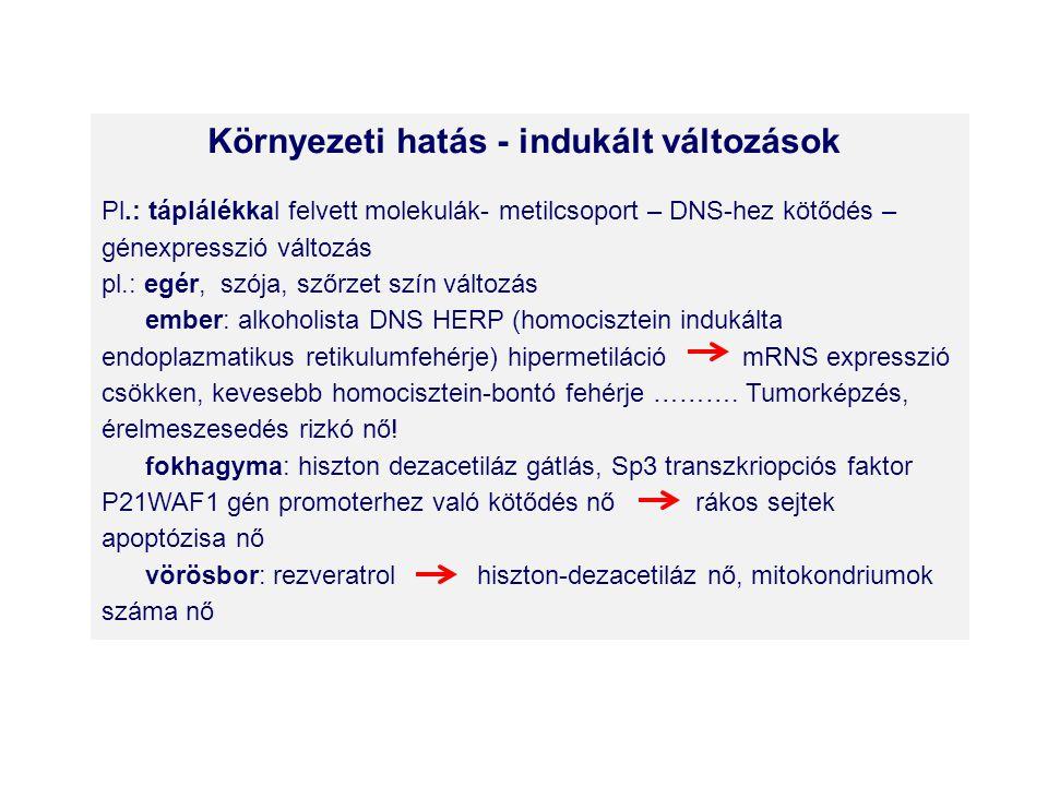 Környezeti hatás - indukált változások Pl.: táplálékkal felvett molekulák- metilcsoport – DNS-hez kötődés – génexpresszió változás pl.: egér, szója, szőrzet szín változás ember: alkoholista DNS HERP (homocisztein indukálta endoplazmatikus retikulumfehérje) hipermetiláció mRNS expresszió csökken, kevesebb homocisztein-bontó fehérje ……….