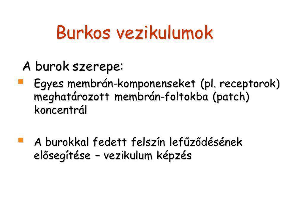 Burkos vezikulumok A burok szerepe:  Egyes membrán-komponenseket (pl.