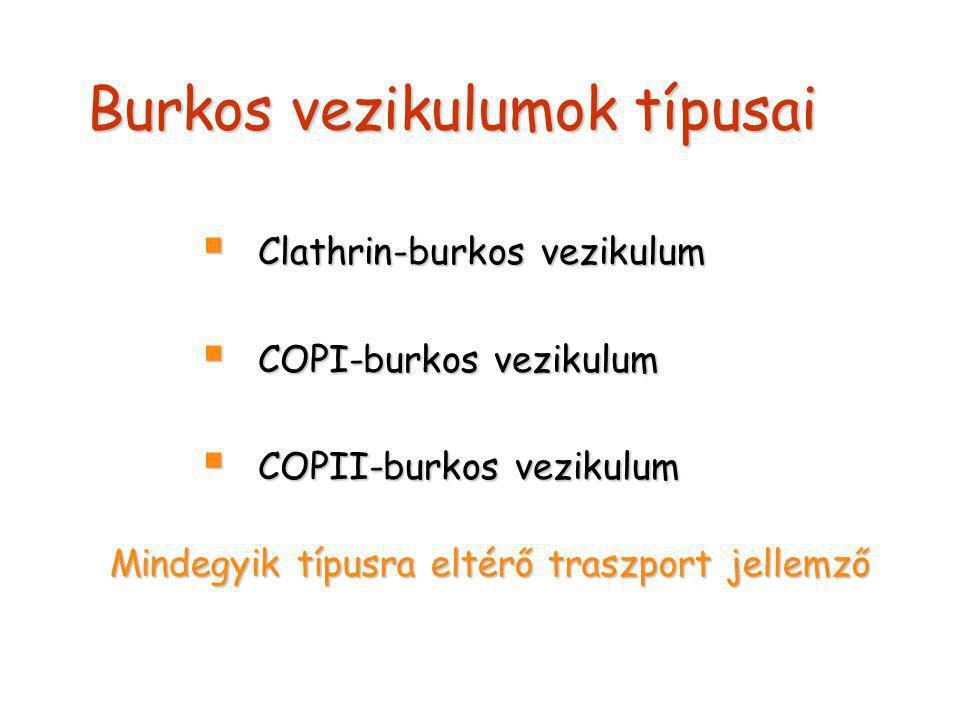 Burkos vezikulumok típusai  Clathrin-burkos vezikulum  COPI-burkos vezikulum  COPII-burkos vezikulum Mindegyik típusra eltérő traszport jellemző