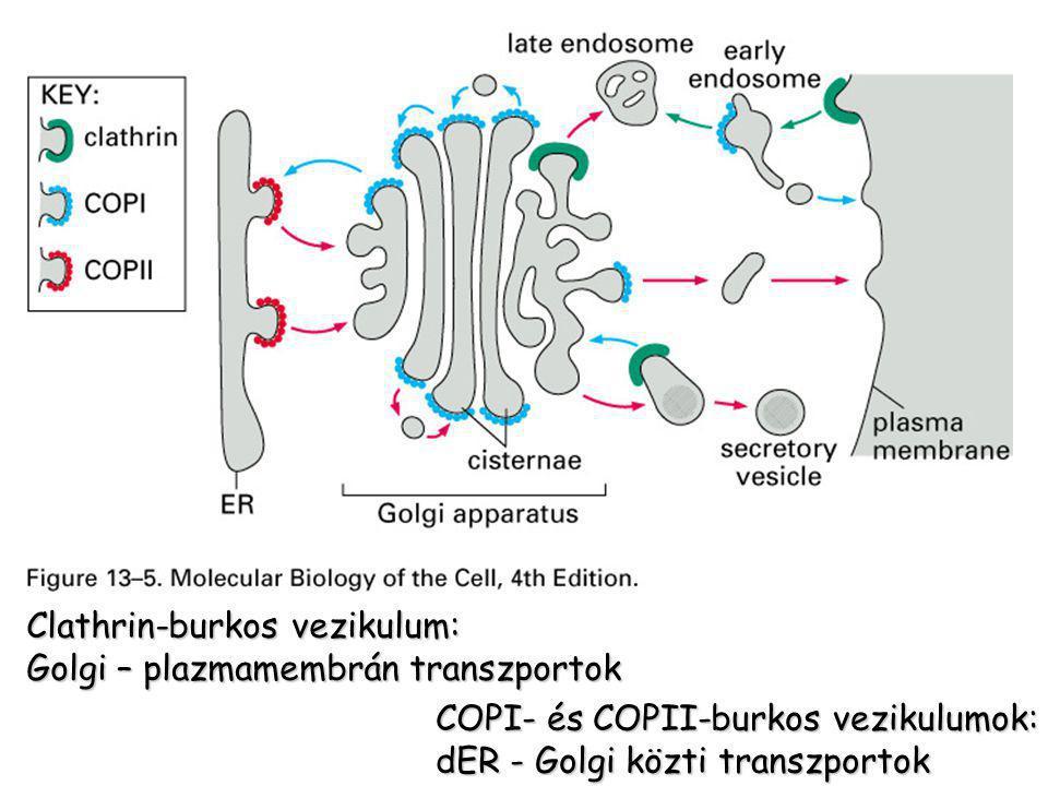 Clathrin-burkos vezikulum: Golgi – plazmamembrán transzportok COPI- és COPII-burkos vezikulumok: dER - Golgi közti transzportok