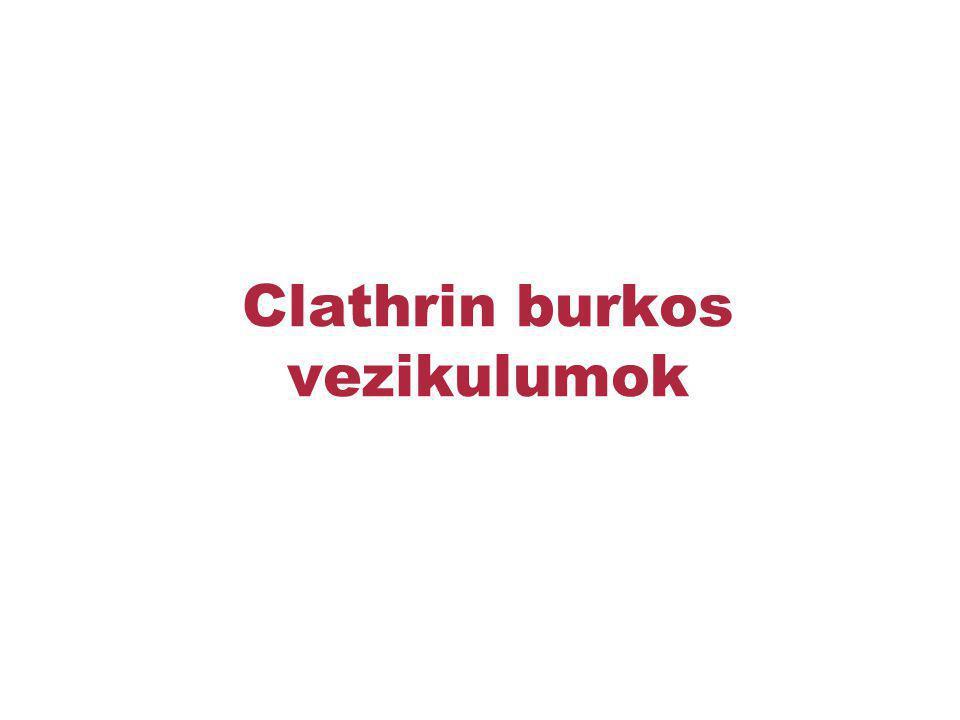 Clathrin burkos vezikulumok