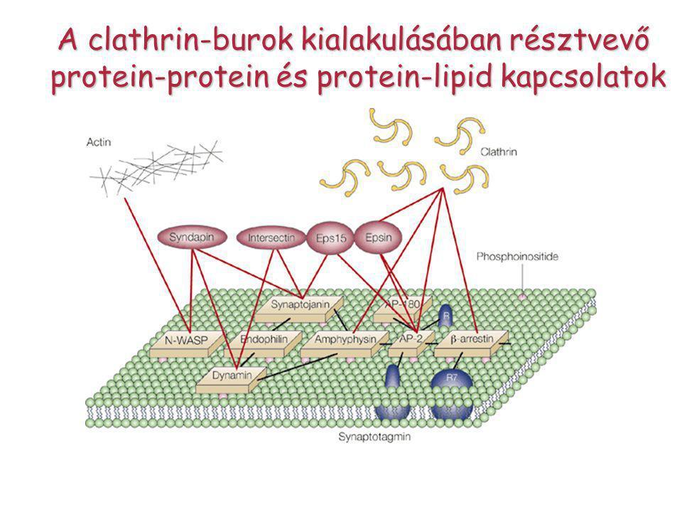 A clathrin-burok kialakulásában résztvevő protein-protein és protein-lipid kapcsolatok protein-protein és protein-lipid kapcsolatok