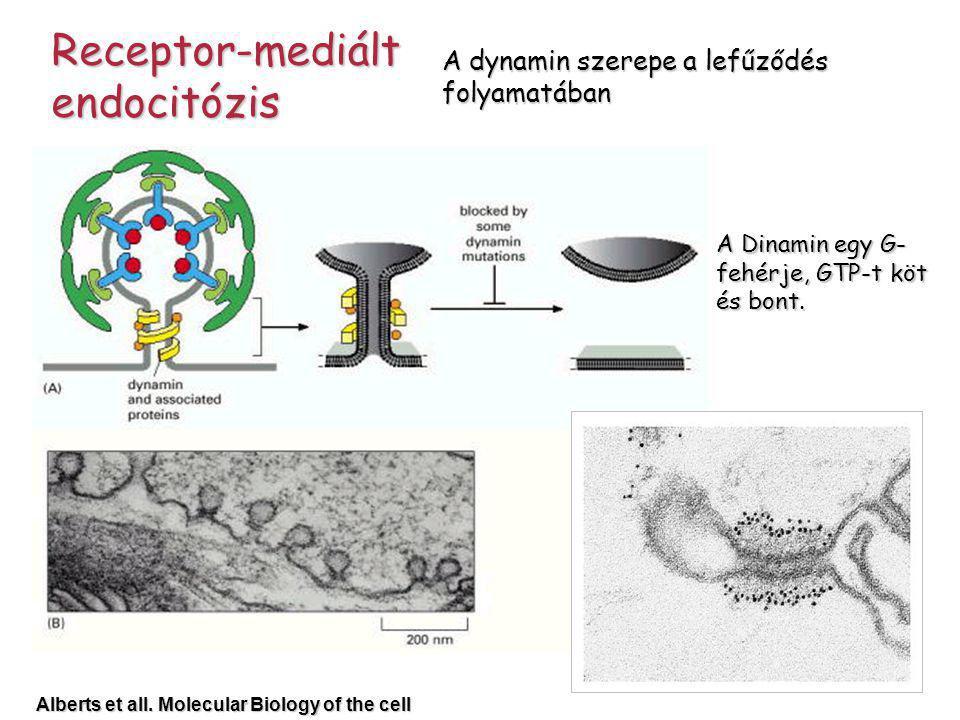 A dynamin szerepe a lefűződés folyamatában A Dinamin egy G- fehérje, GTP-t köt és bont. Alberts et all. Molecular Biology of the cell Receptor-mediált