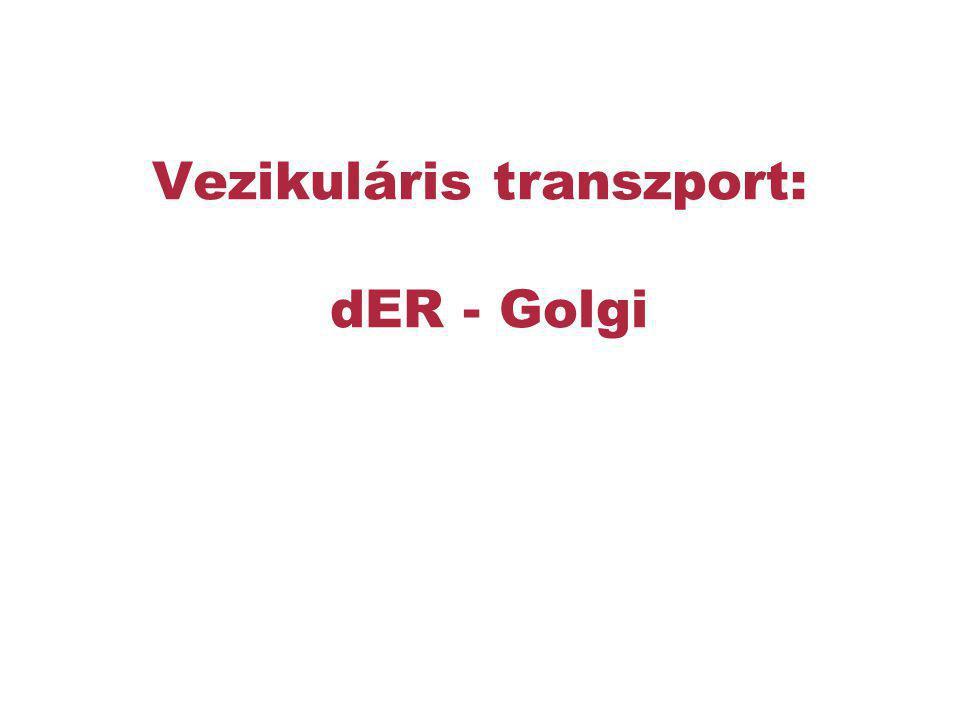 Vezikuláris transzport: dER - Golgi