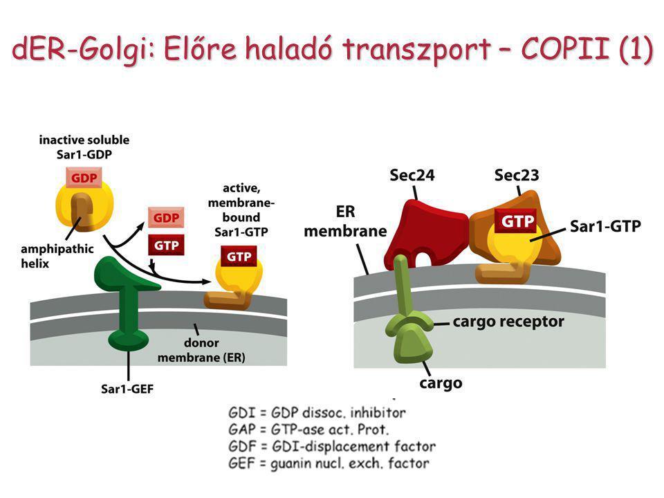 dER-Golgi: Előre haladó transzport – COPII (1)