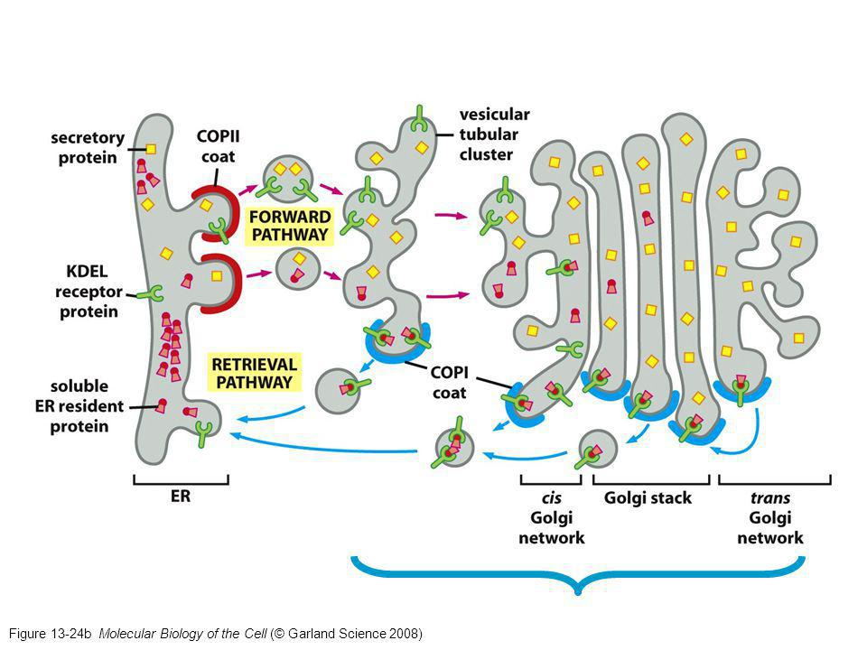 Figure 13-24b Molecular Biology of the Cell (© Garland Science 2008)