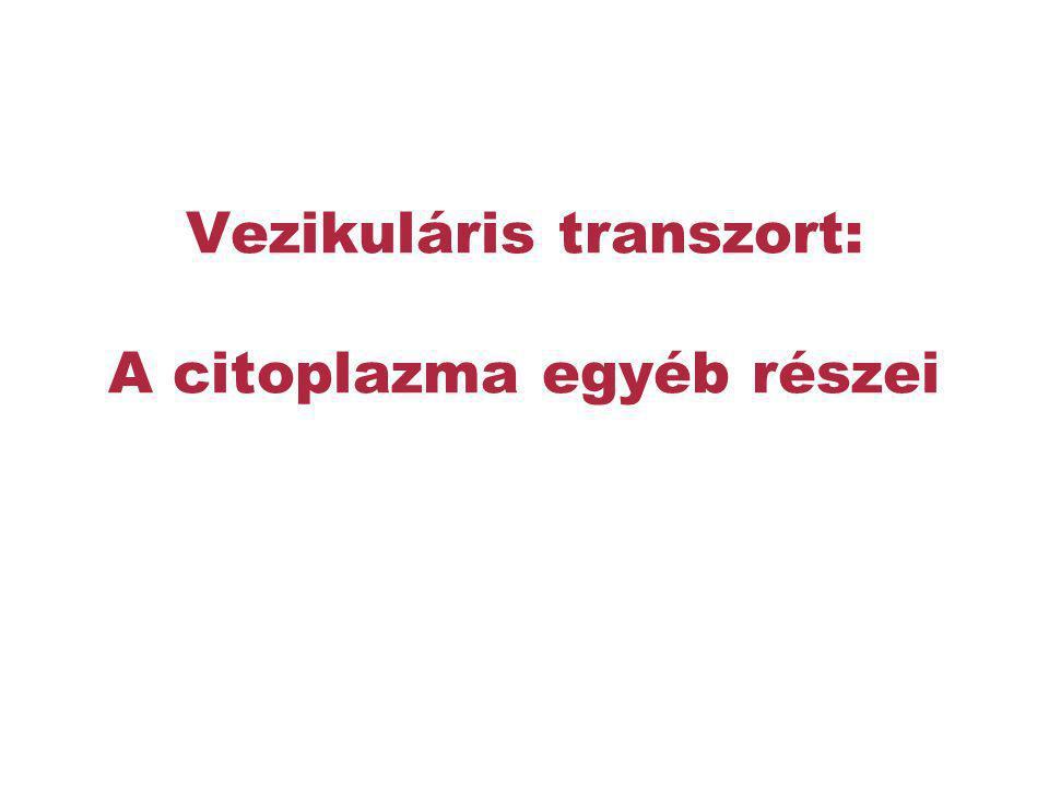 Vezikuláris transzort: A citoplazma egyéb részei