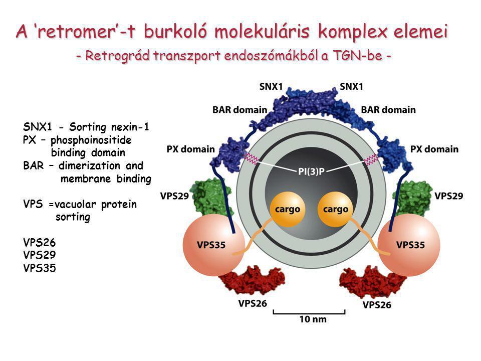 A 'retromer'-t burkoló molekuláris komplex elemei - Retrográd transzport endoszómákból a TGN-be - - Retrográd transzport endoszómákból a TGN-be - SNX1 - Sorting nexin-1 PX – phosphoinositide binding domain BAR – dimerization and membrane binding VPS =vacuolar protein sorting VPS26 VPS29 VPS35