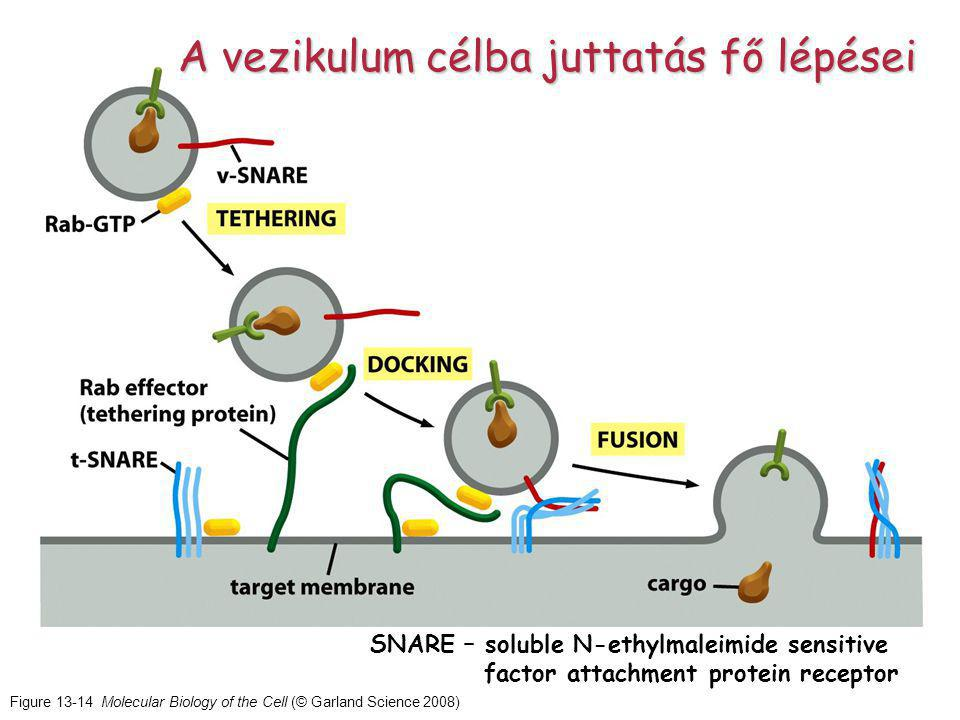 Figure 13-14 Molecular Biology of the Cell (© Garland Science 2008) A vezikulum célba juttatás fő lépései SNARE – soluble N-ethylmaleimide sensitive factor attachment protein receptor