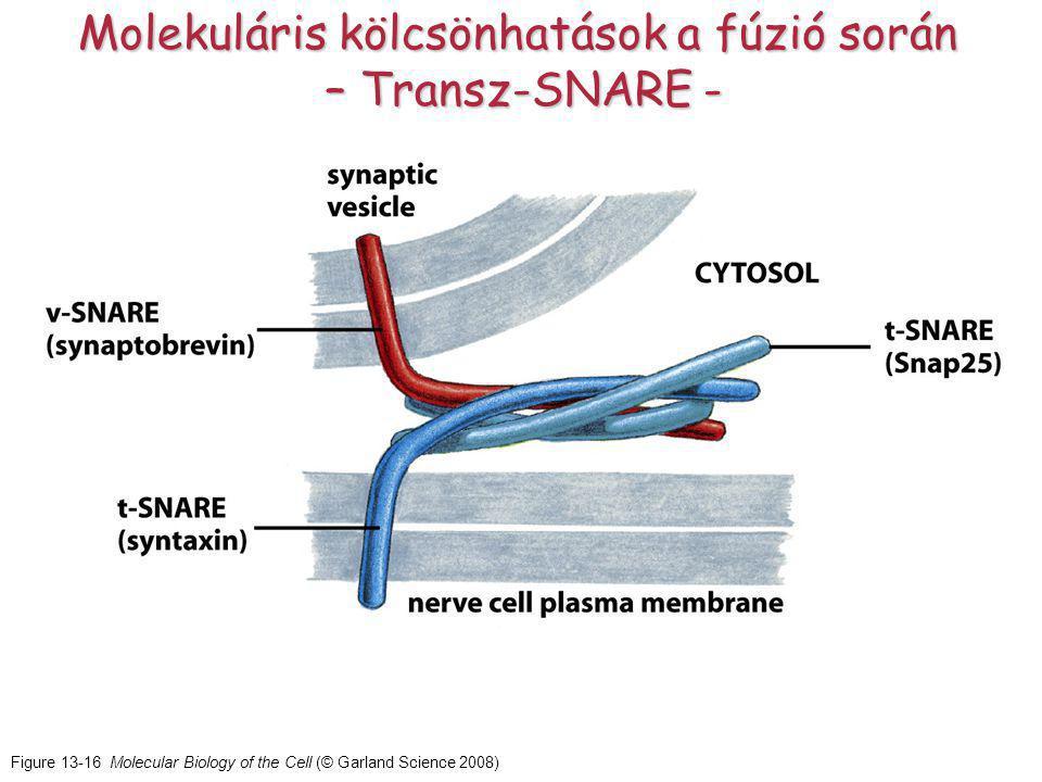 Figure 13-16 Molecular Biology of the Cell (© Garland Science 2008) Molekuláris kölcsönhatások a fúzió során – Transz-SNARE -
