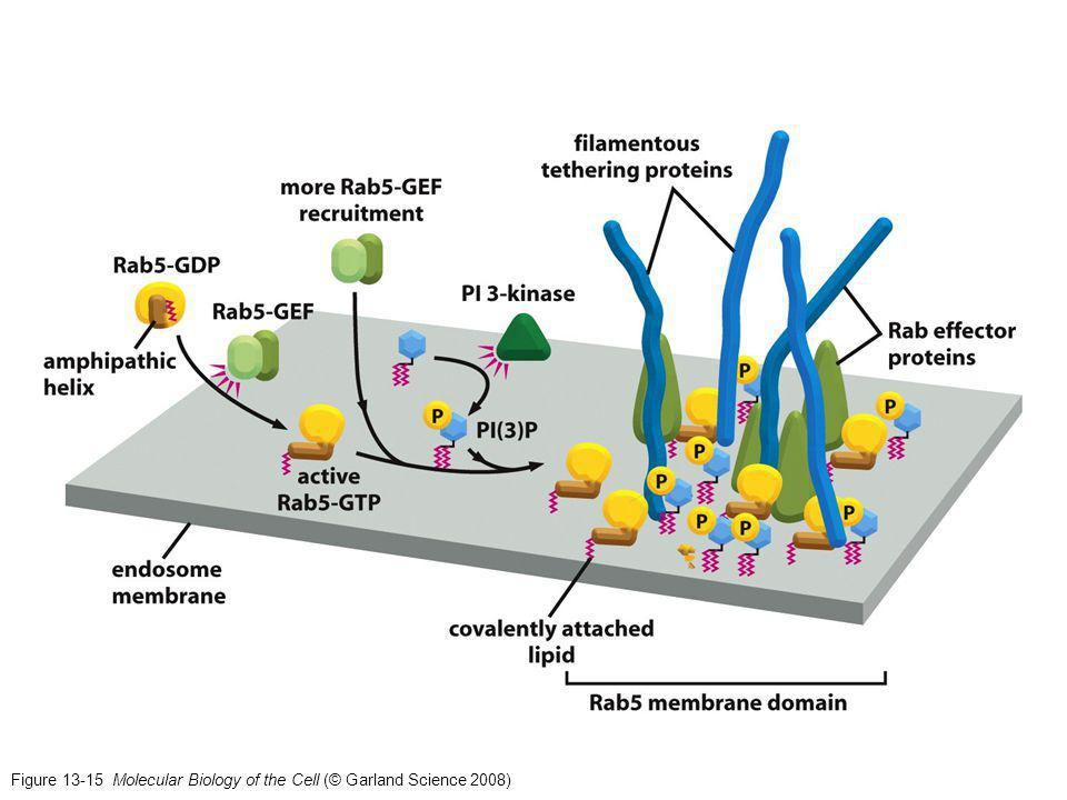 Figure 13-15 Molecular Biology of the Cell (© Garland Science 2008)