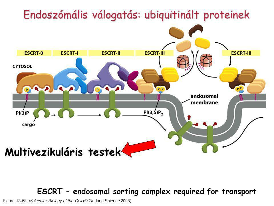Figure 13-58 Molecular Biology of the Cell (© Garland Science 2008) ESCRT - endosomal sorting complex required for transport Endoszómális válogatás: ubiquitinált proteinek Multivezikuláris testek
