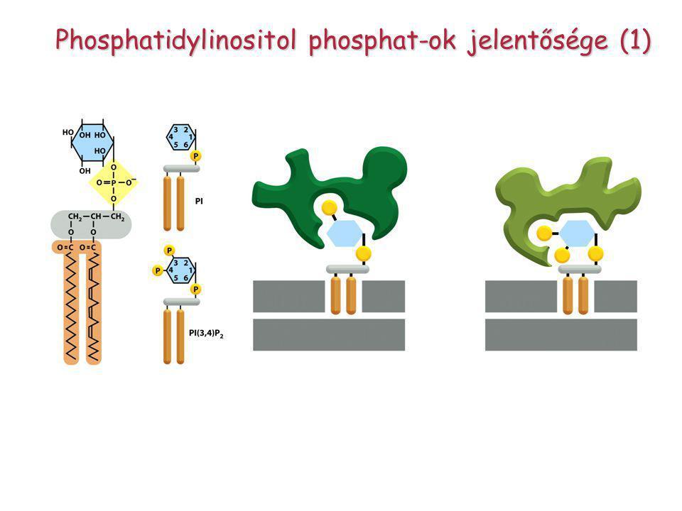 Phosphatidylinositol phosphat-ok jelentősége (1)