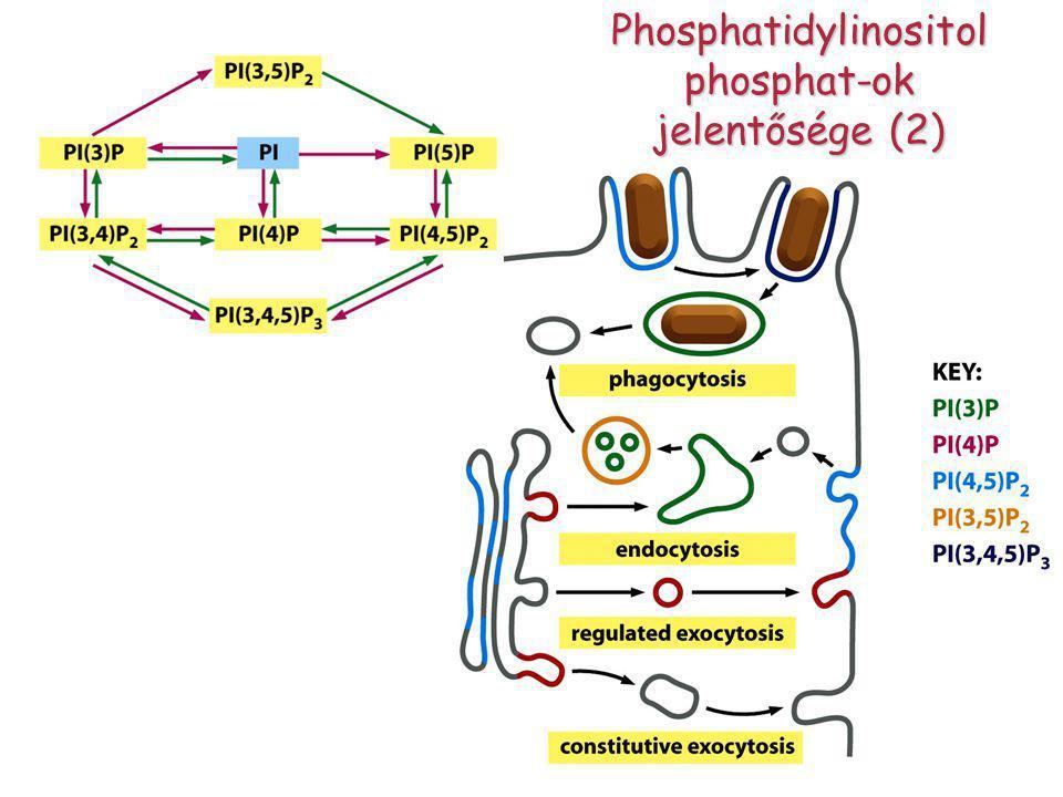 Phosphatidylinositol phosphat-ok jelentősége (2)