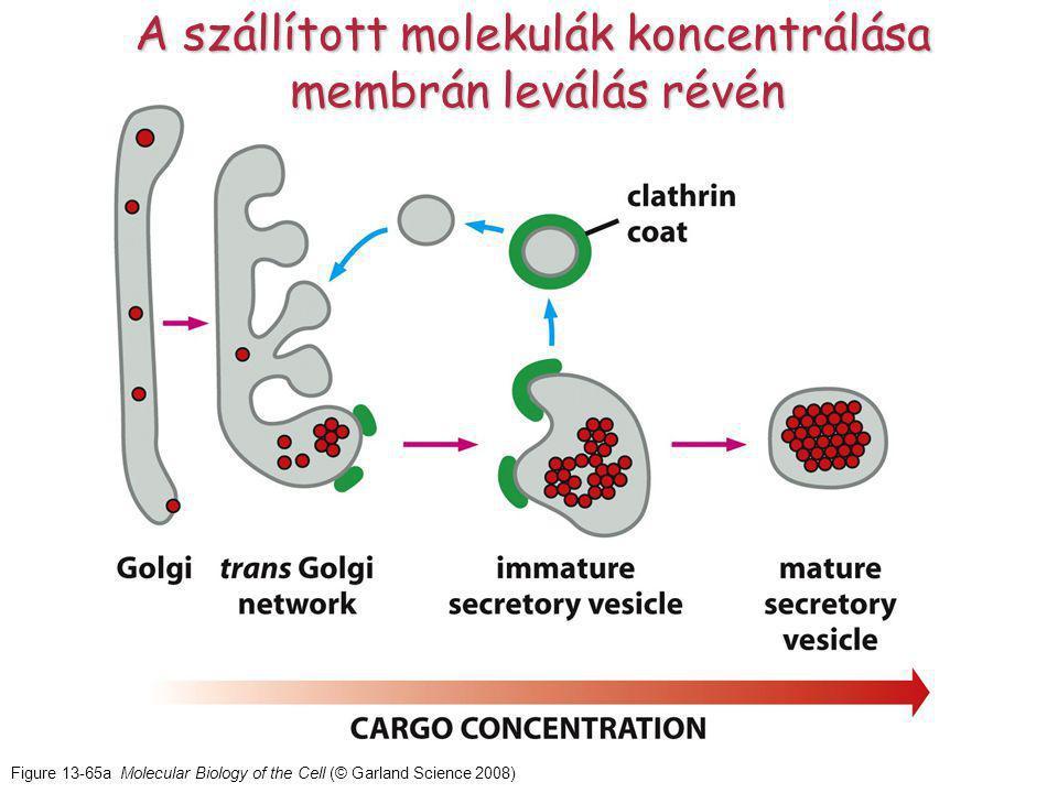Figure 13-65a Molecular Biology of the Cell (© Garland Science 2008) A szállított molekulák koncentrálása membrán leválás révén