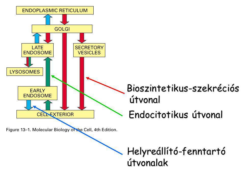 Transzport vezikulum  A membránnal határolt vezikulumok meghatározott anyagokat szállítanak Szekréció Szekréció Lizoszómális enzimek Lizoszómális enzimek Membrán és ECM összetevői Membrán és ECM összetevői  A szállítás irányát a membrán összetevői határozzák meg ld.