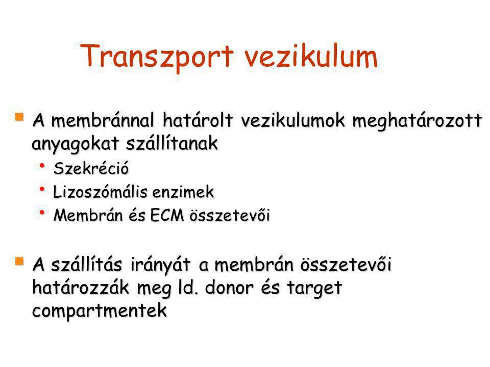 Transzport vezikulum  A membránnal határolt vezikulumok meghatározott anyagokat szállítanak Szekréció Szekréció Lizoszómális enzimek Lizoszómális enz