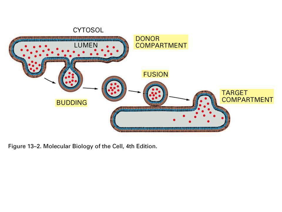 Figure 13-17 Molecular Biology of the Cell (© Garland Science 2008) A vezikulumok fúziójának lépései