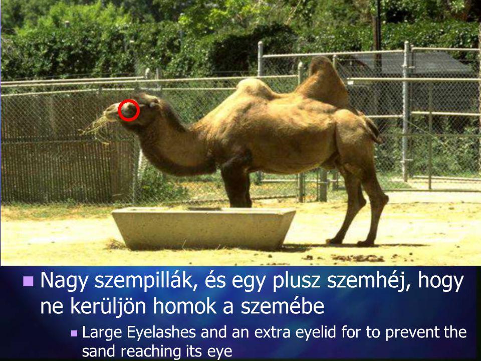 Nagy szempillák, és egy plusz szemhéj, hogy ne kerüljön homok a szemébe Large Eyelashes and an extra eyelid for to prevent the sand reaching its eye