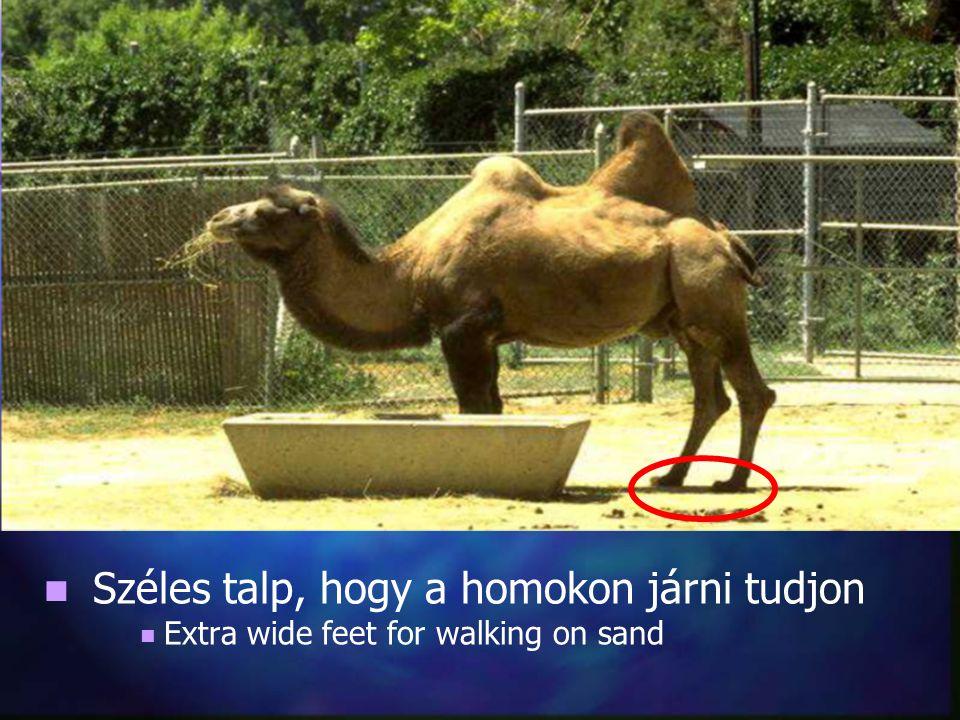 Széles talp, hogy a homokon járni tudjon Extra wide feet for walking on sand