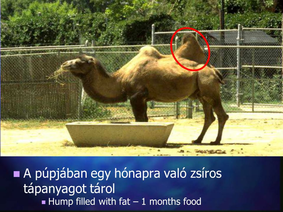 A púpjában egy hónapra való zsíros tápanyagot tárol Hump filled with fat – 1 months food