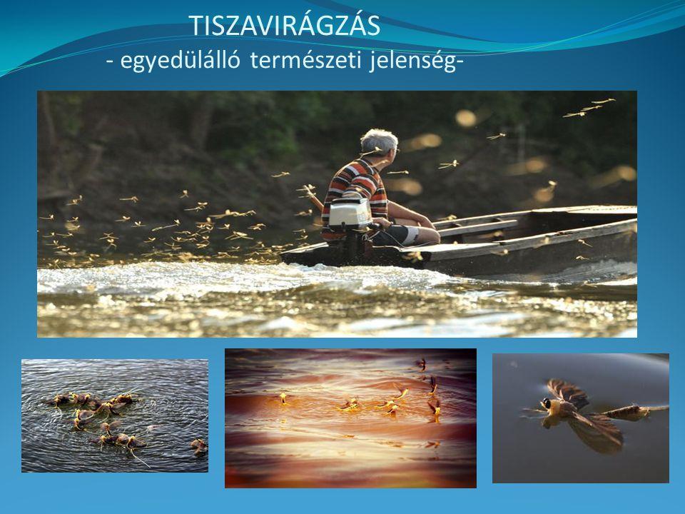TISZAVIRÁGZÁS - egyedülálló természeti jelenség-