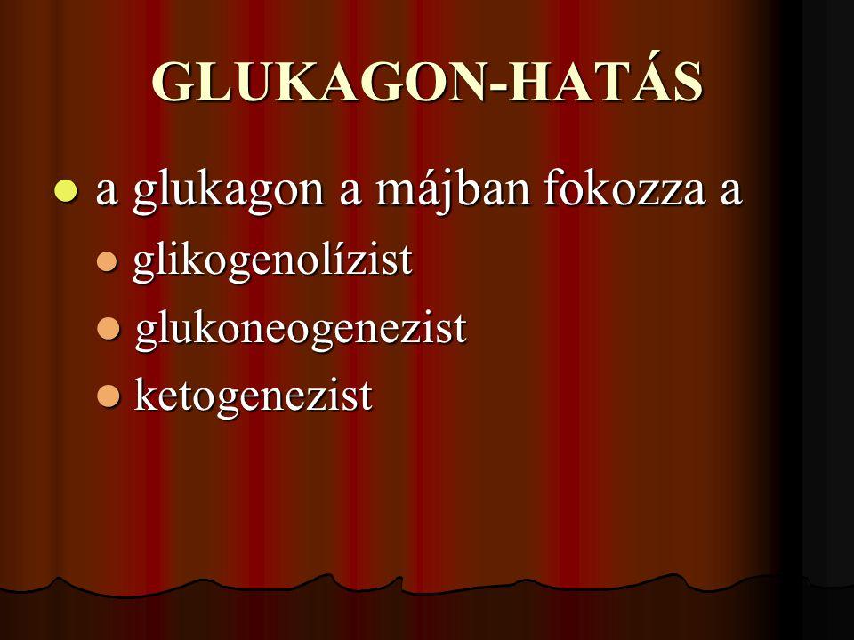 GLUKAGON-HATÁS a glukagon a májban fokozza a a glukagon a májban fokozza a glikogenolízist glikogenolízist glukoneogenezist glukoneogenezist ketogenezist ketogenezist