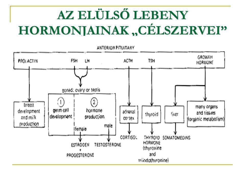 """AZ ELÜLSŐ LEBENY HORMONJAINAK """"CÉLSZERVEI"""""""