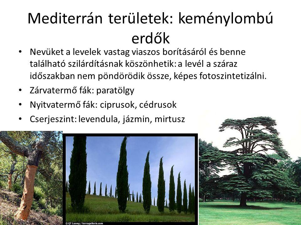 Mediterrán területek: keménylombú erdők Nevüket a levelek vastag viaszos borításáról és benne található szilárdításnak köszönhetik: a levél a száraz i