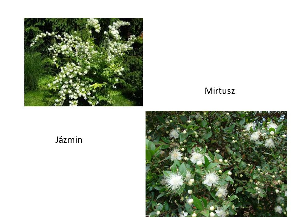 Mirtusz Jázmin