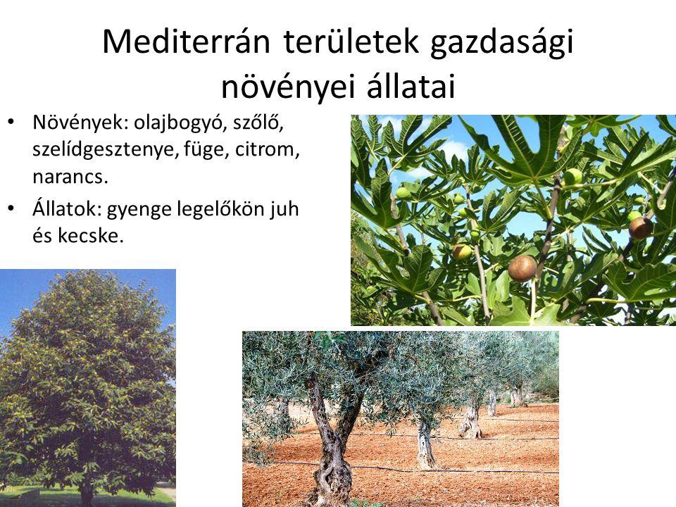 Mediterrán területek gazdasági növényei állatai Növények: olajbogyó, szőlő, szelídgesztenye, füge, citrom, narancs. Állatok: gyenge legelőkön juh és k