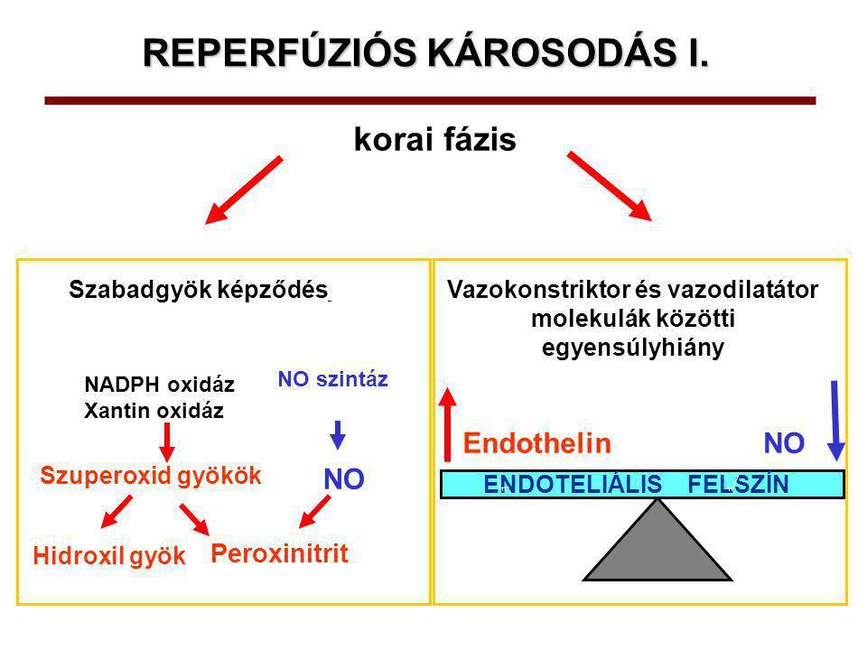 REPERFÚZIÓS KÁROSODÁS II.