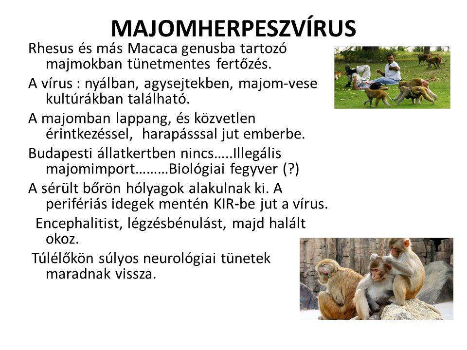 MAJOMHERPESZVÍRUS Rhesus és más Macaca genusba tartozó majmokban tünetmentes fertőzés. A vírus : nyálban, agysejtekben, majom-vese kultúrákban találha
