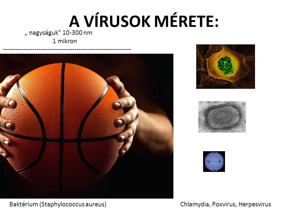 """A VÍRUSOK MÉRETE: """" nagyságuk"""" 10-300 nm 1 mikron ------------------------------------------------------------- Baktérium (Staphylococcus aureus) Chla"""