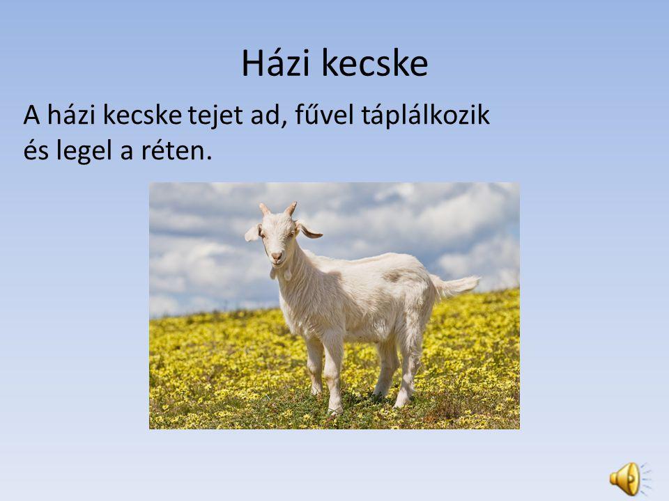 Házi kecske A házi kecske tejet ad, fűvel táplálkozik és legel a réten.