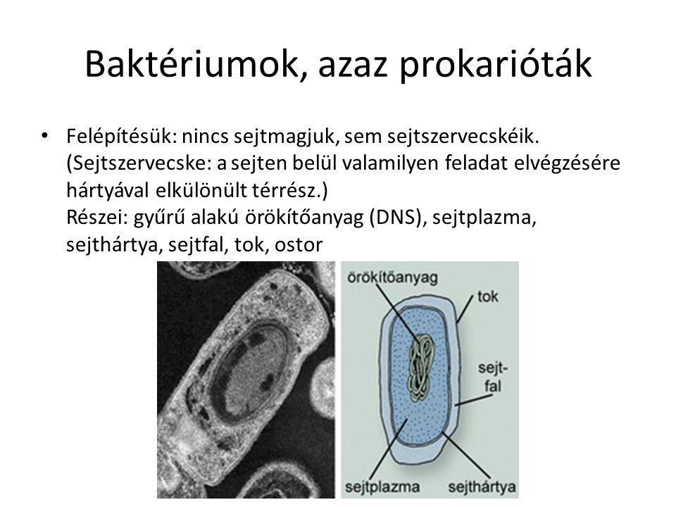 Baktériumok, azaz prokarióták Felépítésük: nincs sejtmagjuk, sem sejtszervecskéik. (Sejtszervecske: a sejten belül valamilyen feladat elvégzésére hárt