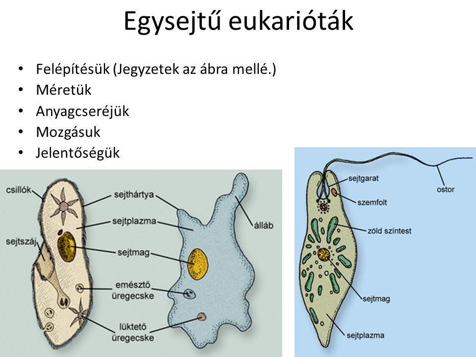 Egysejtű eukarióták Felépítésük (Jegyzetek az ábra mellé.) Méretük Anyagcseréjük Mozgásuk Jelentőségük