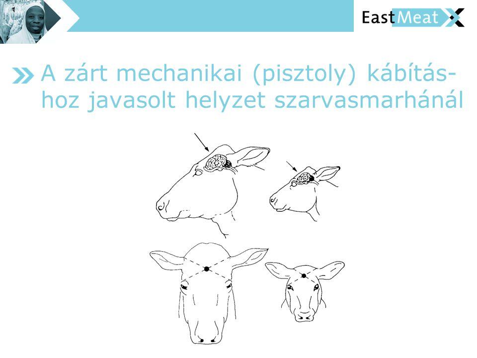 A zárt mechanikai (pisztoly) kábítás- hoz javasolt helyzet szarvasmarhánál